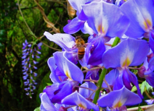 12 Bee on pumphouse wisteria