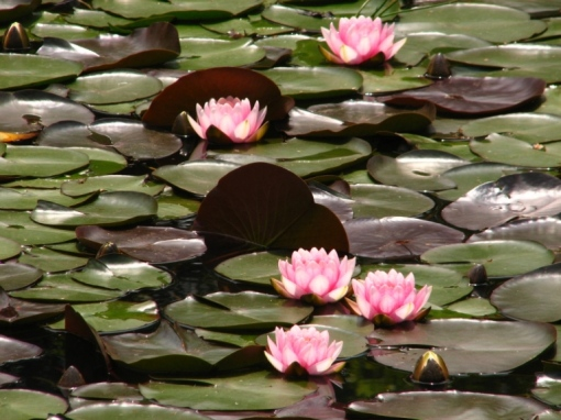 17 Waterlilies