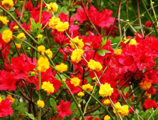 The saturated combination of chrome yellow kerria and tomato red azaleas.