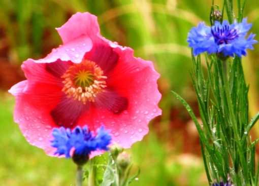 Single poppy and cornflower