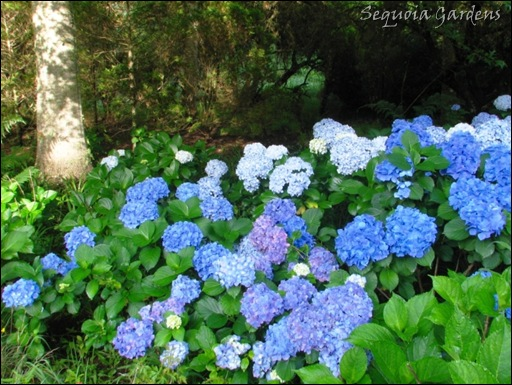 1 I've got the Hydrangea Blues