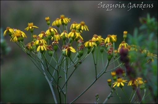 Senecio, probably S. decurrens