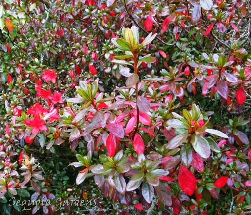 8 Red flowers and red autumn leaves on an azalea