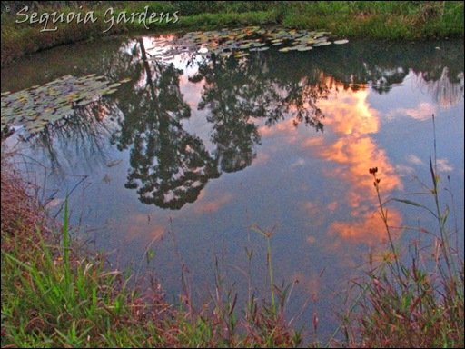 Sunset in the lily pond