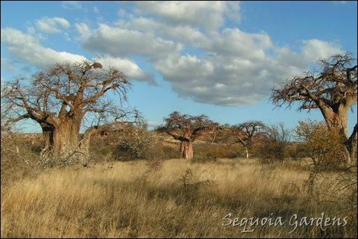 Samaria baobabs s