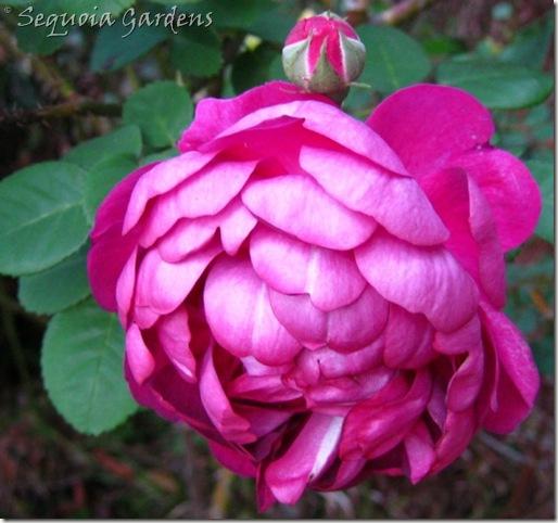 23 Aunty Corry's rose 2