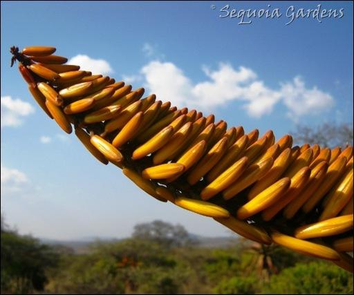Detail of Aloe marlothii near Magaedisha School