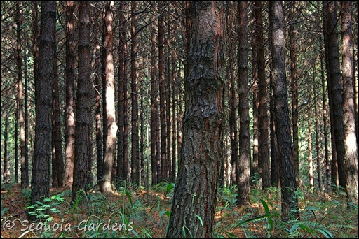 1 In the pine plantation