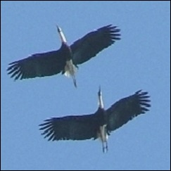 Woolly necked storks 1