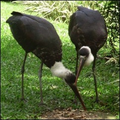 woolly necked storks 2