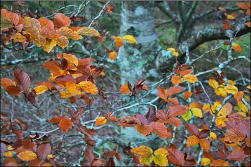 Purple Beech in the Beech Borders