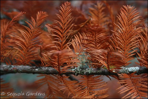 Swamp cypress twig