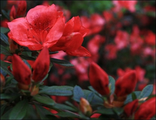 Glorious red azalea