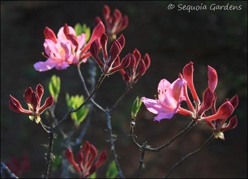 Pink deciduous azalea