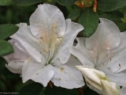 White-azalea-3.jpg