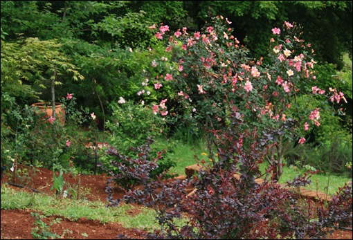 Mutabilis in New Old Rose garden