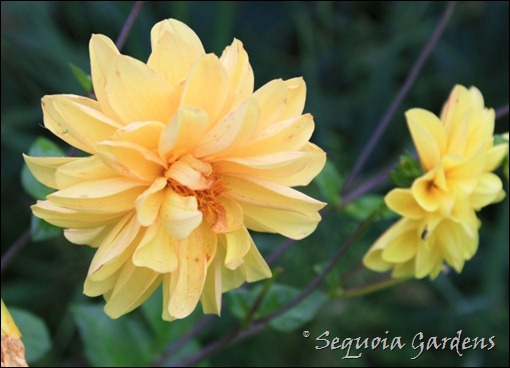 Yellow seedling dahlia