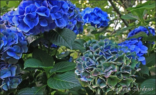 Avenue hydrangea close-up