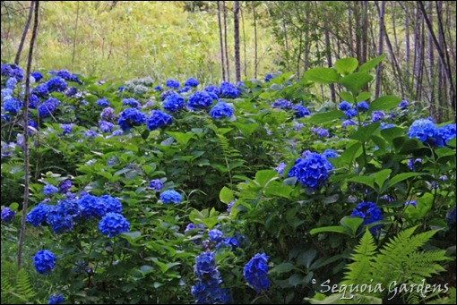 Blue hydrangeas at the end of the Beech Borders axis