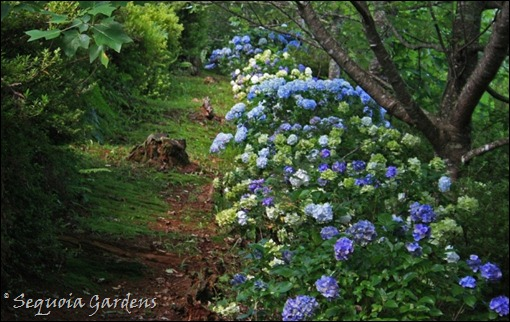 Hydrangeas in the Avenue