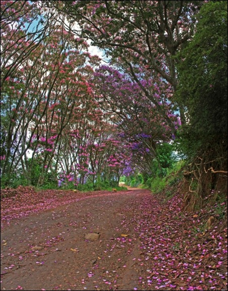 Tibouchina tunnel