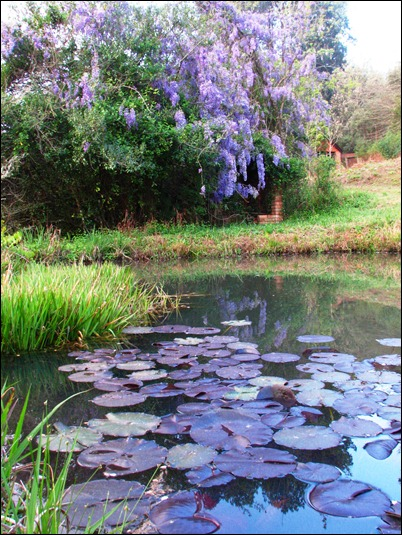 Pond and wisteria