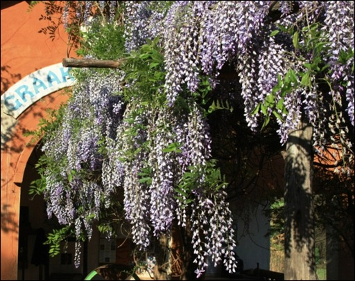 Wisteria at Wegraakbosch