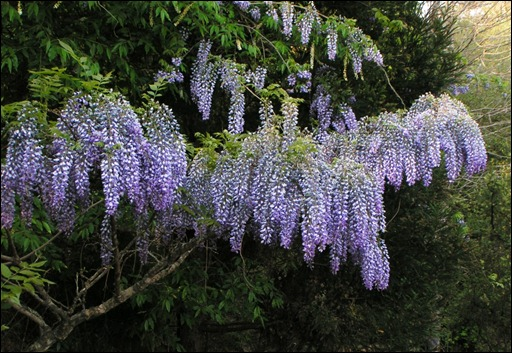 Wisteria with long racemes