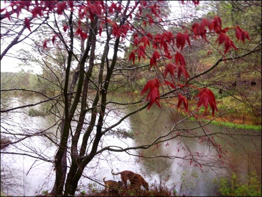 The Japanese maple with red young leaves