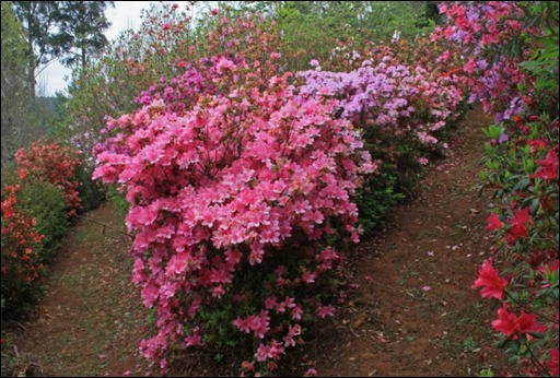 Azaleas at a junction