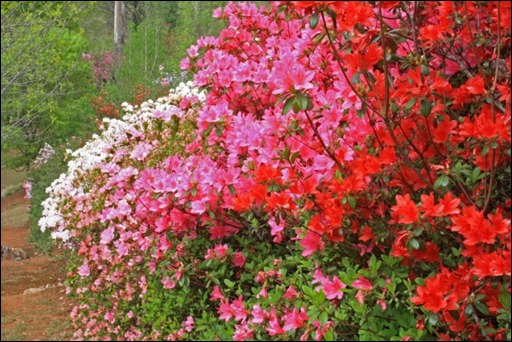 Azaleas in popping colours