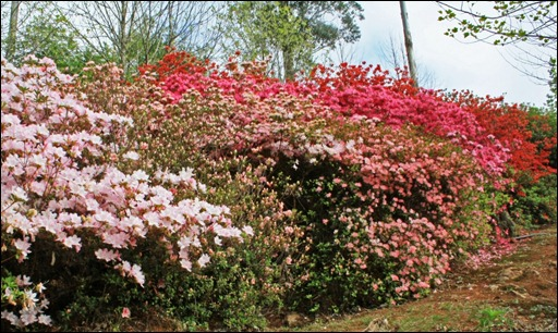 azaleas up the avenue