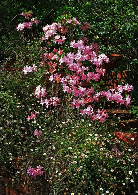 Pink deciduous azalea at house