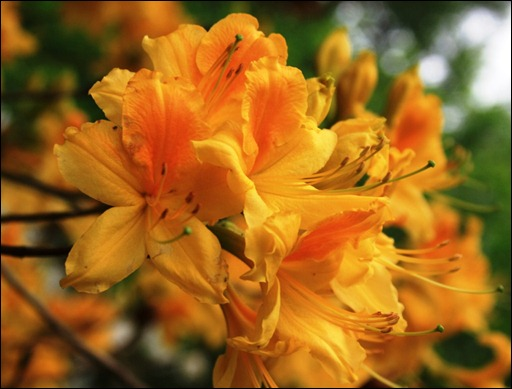Yellow azalea at Carpetgarden 2