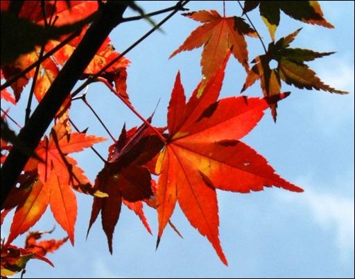 Detail Japanese maple leaf