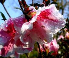 pink-and-white-azalea.jpg