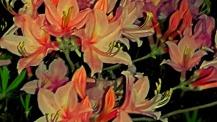 Detail-deciduous-azalea-behind-house.jpg